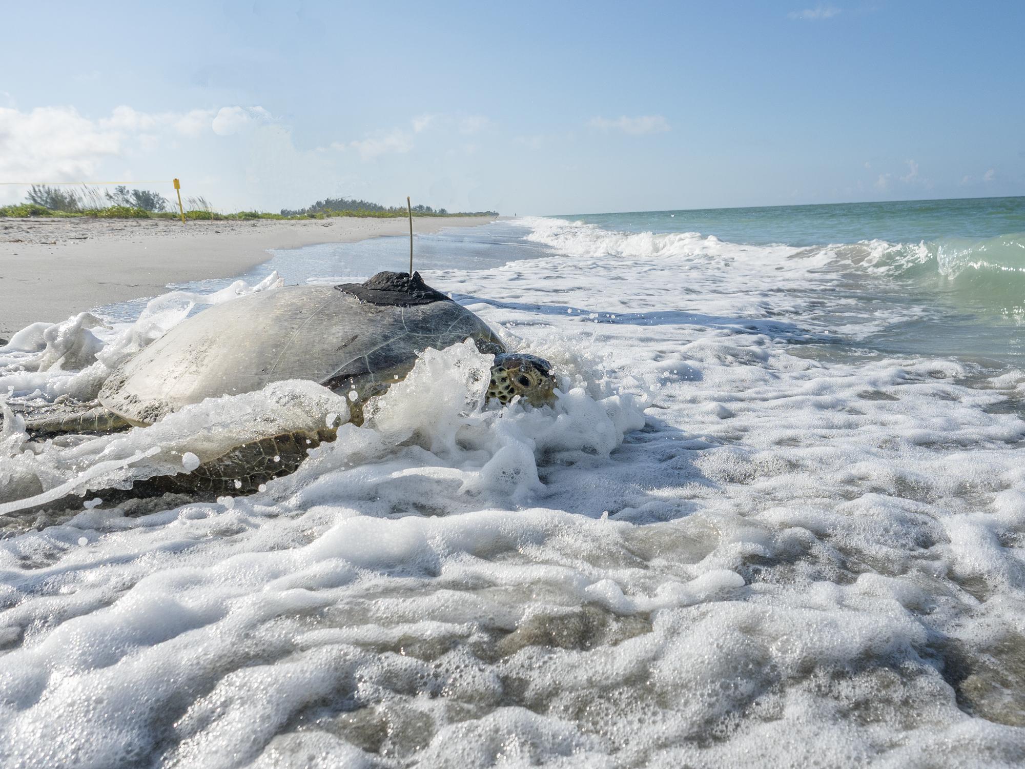 Green Sea Turtle Tagging